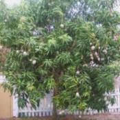 Garden: Mango Tree (Florida)