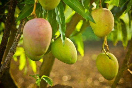 Mango fruit hanging from the limbs of a tree