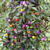 multicolored pepper plant