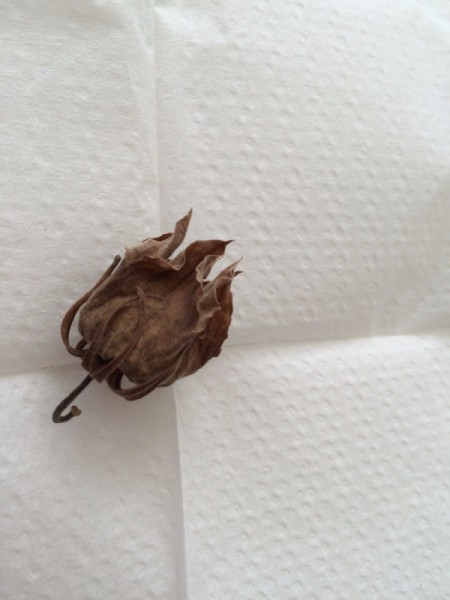 Saving Hibiscus or Daylily Seeds