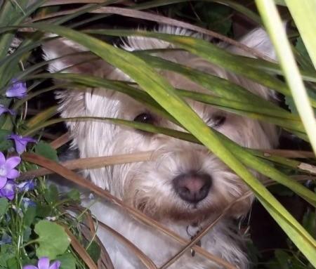 Sammy Jo (West Highland Terrier)