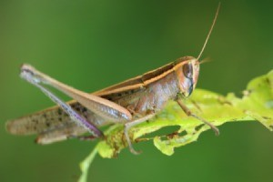 Close-up of a grasshopper on a leaf