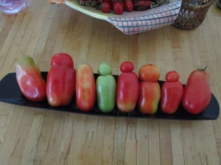 Growing San Marzano Tomatoes from Cuttings