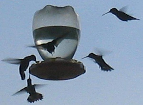 Hummingbirds at feeder
