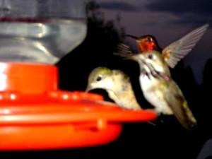 2 hummingbirds on feeder