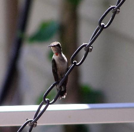 Hummingbird sitting on swing