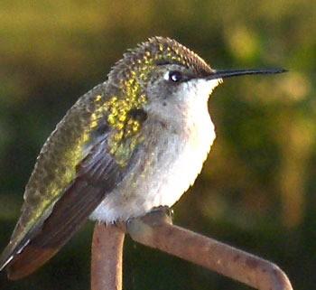 Hummingbird on a Perch