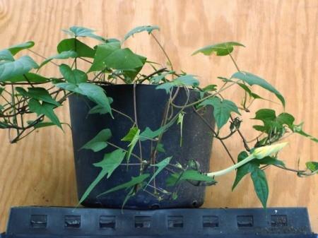 Grow Moonflower (Ipomoea alba) In Pots