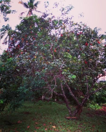Rambutan Tree and Fruit