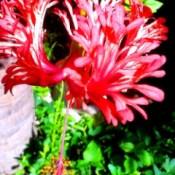upturned petal hibiscus flower