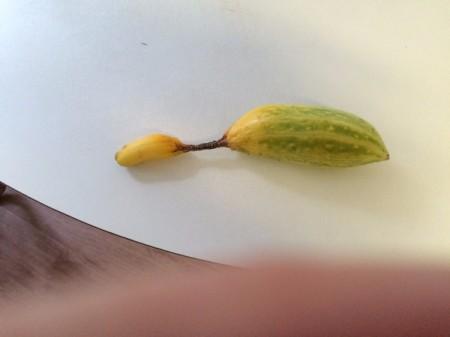 Saving Cucumber Seeds