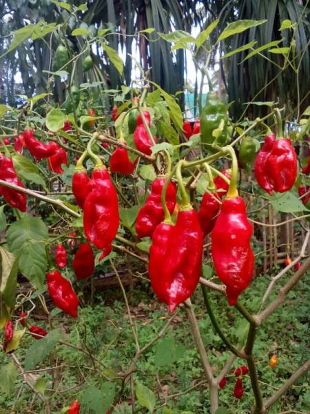 closeup of bright red chilli peppers