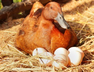 Duck in nest with eggs