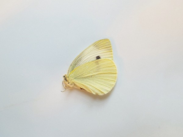 Cabbage Butterfly (Pireis rapae)