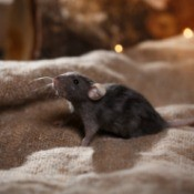 Black mouse on brown burlap bag