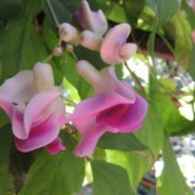 Corkscrew Vine flower