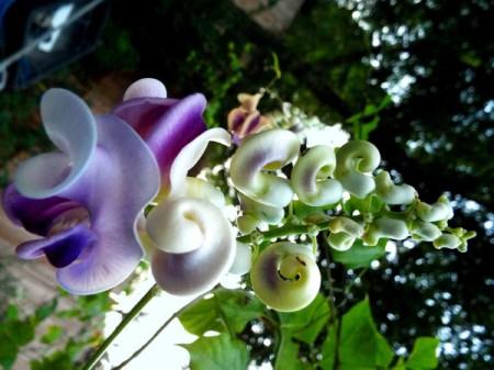 caracalla blooms