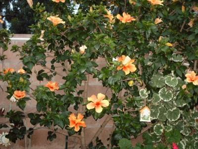 Garden: Hibiscus