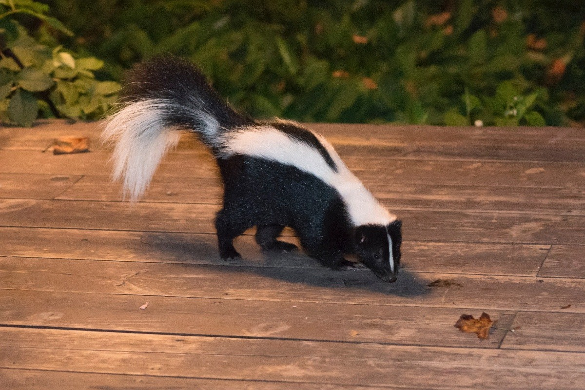 Removing Skunk Smell from House | ThriftyFun