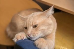 Buff colored cat scratching furniture
