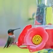 Hummingbird on a red hummingbird feeder