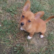 light brown dog with white feet and large ears