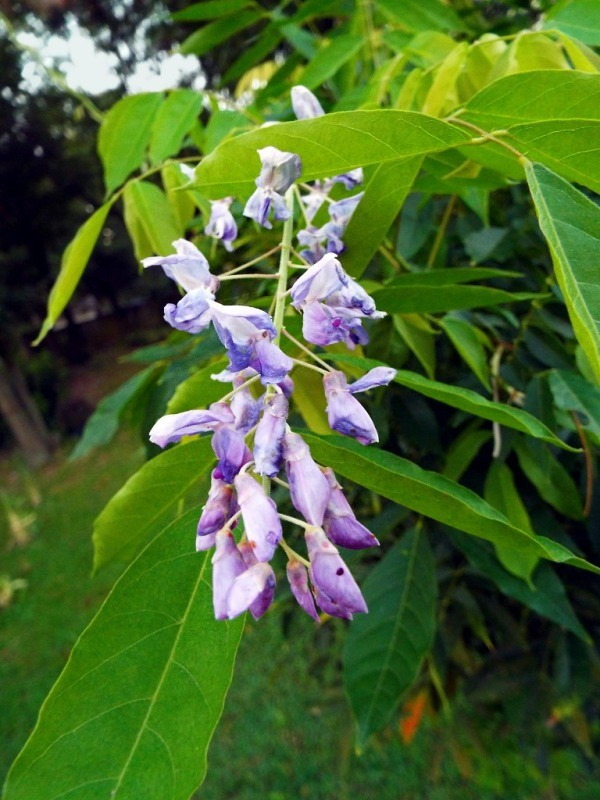 The Long Awaited Wisteria Bloom