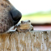 Close-up of dog's nose sniffing a toad