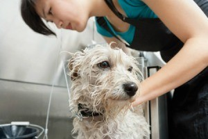 Woman giving a white dog a bath