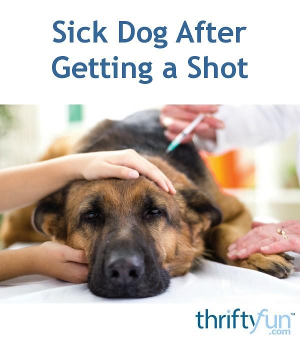 My Dog Is Sick After Getting A Parvodistemper Shot Thriftyfun