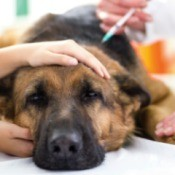 My Dog is Sick After Getting a Parvo/Distemper Shot
