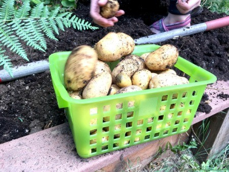 Harvesting Potatoes from a Potato Tower