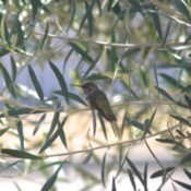 hummingbird on olive tree branch