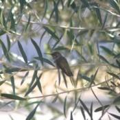 hummingbird on olive tree branch