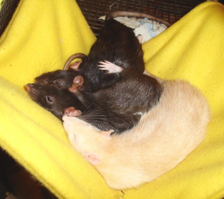 three rats cuddled up in a sling