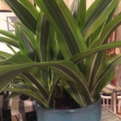 plant with long variegated striped green leaves, similar to corn plant