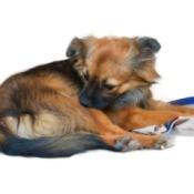 Dog biting at his skin