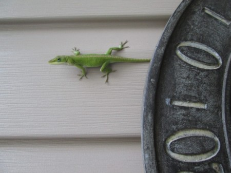 A small green gecko on the side of a house.