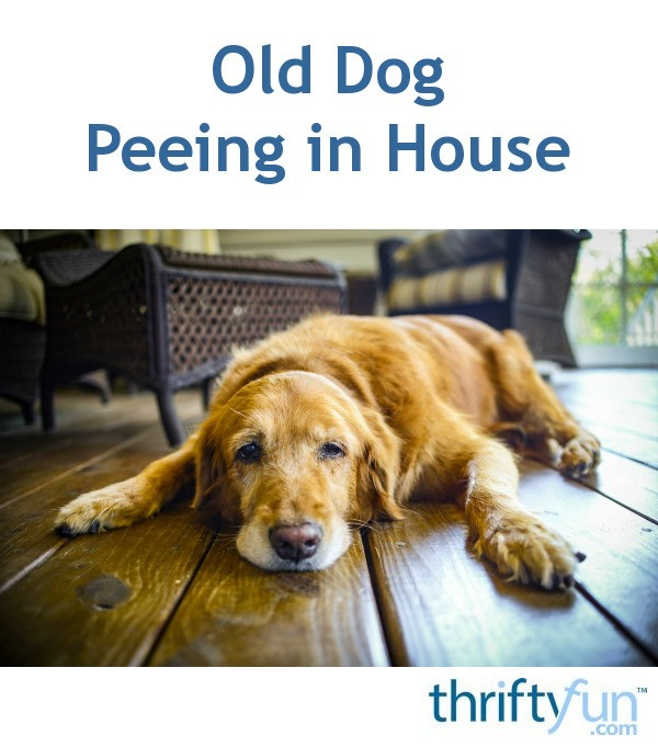 My Dog Peed On My New Rug: Old Dog Peeing In House