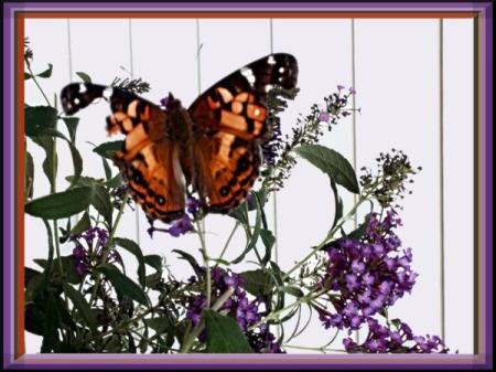tattered butterfly on butterfly bush