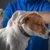 Dog receiving vaccine
