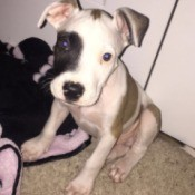 white and tan puppy with black around one eye