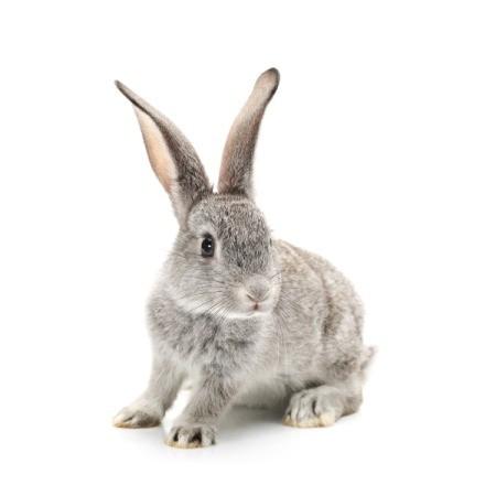 Grey Rabbit