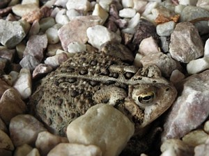 toad in rocks