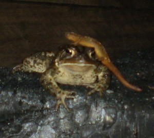A Toad With a Salamander Hat