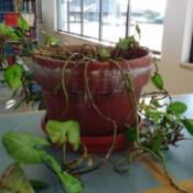 trailing plant in terra cotta pot