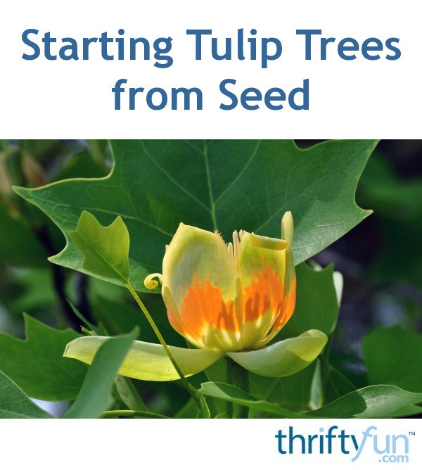 Starting Tulip Trees From Seed Thriftyfun