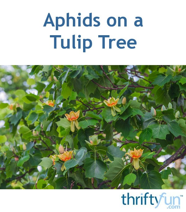 Aphids On A Tulip Tree Thriftyfun