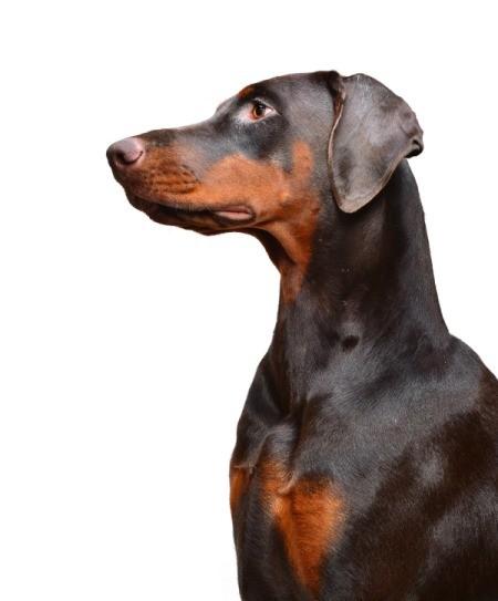 black and tan Doberman in profile