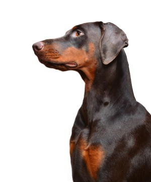 black and tan Doberman in profile